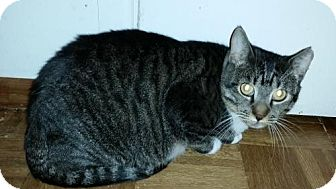 Domestic Shorthair Cat for adoption in Glendale, Arizona - Lady Bug