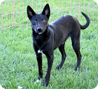 Schipperke/Chihuahua Mix Dog for adoption in Liberty Center, Ohio - Skip