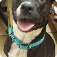Adopt A Pet :: Blu - St.Ann, MO