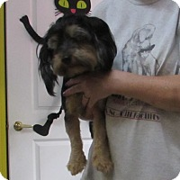 Yorkie, Yorkshire Terrier Mix Dog for adoption in Jackson, Missouri - BILLY THE KID