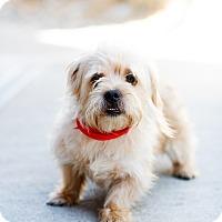 Adopt A Pet :: Cornsilk - a man's man - Marietta, GA