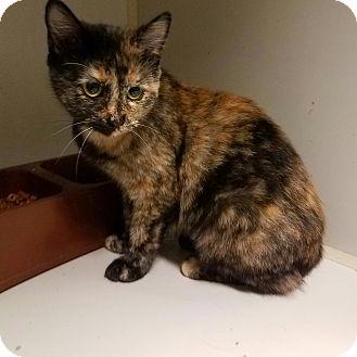 Domestic Shorthair Cat for adoption in Indianola, Iowa - C20