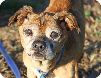 Terrier (Unknown Type, Small) Mix Dog for adoption in Marietta, Ohio - Wrinkles