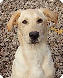 Labrador Retriever Dog for adoption in Temple, Georgia - Zippy