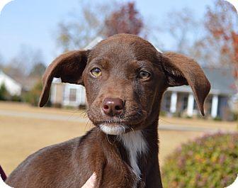 Labrador Retriever Mix Puppy for adoption in CRANSTON, Rhode Island - Miracle