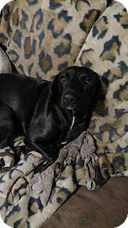 Labrador Retriever/Beagle Mix Dog for adoption in Blountstown, Florida - Bella