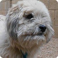 Adopt A Pet :: Chewie - Glendale, AZ