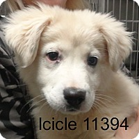 Adopt A Pet :: Icicle - baltimore, MD