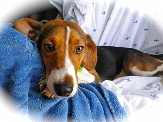 Beagle Mix Dog for adoption in Metamora, Indiana - Lewis