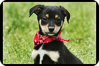 Miniature Pinscher/Yorkie, Yorkshire Terrier Mix Puppy for adoption in Cranford, New Jersey - Chase
