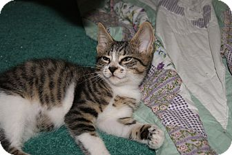Domestic Shorthair Kitten for adoption in Trevose, Pennsylvania - Freckles