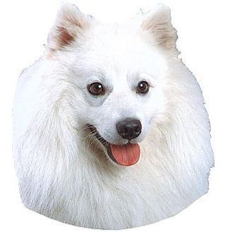 American Eskimo Dog Dog for adoption in Jefferson City, Tennessee - FOSTERS NEEDED