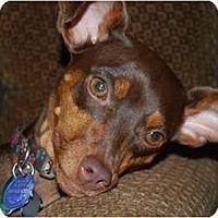 Adopt A Pet :: Laila - Nashville, TN