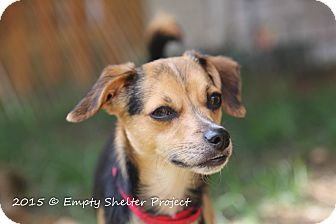 Chihuahua/Whippet Mix Dog for adoption in Manassas, Virginia - Dexter (formerly Fizban)