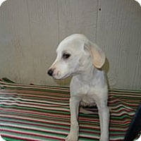 Adopt A Pet :: Brent in CT - East Hartford, CT