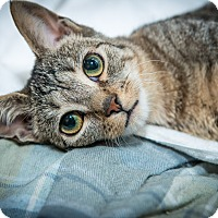 Domestic Shorthair Cat for adoption in New York, New York - Catsby