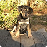 Adopt A Pet :: Bowie - Holly Springs, NC