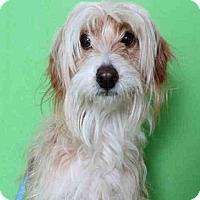 Adopt A Pet :: Gracie - Encino, CA