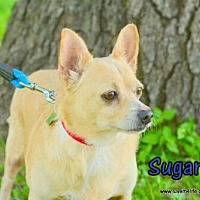Corgi/Chihuahua Mix Dog for adoption in Rhome, Texas - Sugar Man
