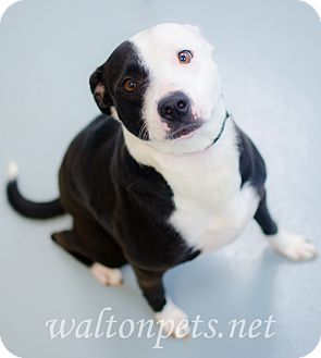 Labrador Retriever/Border Collie Mix Dog for adoption in Monroe, Georgia - Sadie
