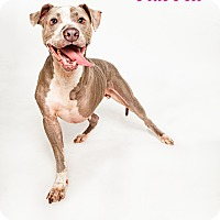 Adopt A Pet :: BlueBell - Boston, MA