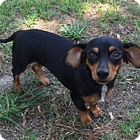 Dachshund Dog for adoption in Pearland, Texas - Sugar