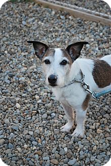 Jack Russell Terrier Mix Dog for adoption in Berea, Ohio - Einstein