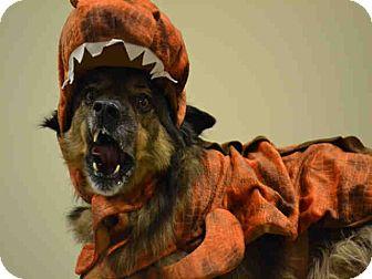 Australian Shepherd/Chow Chow Mix Dog for adoption in Overland Park, Kansas - A075819 Baloo