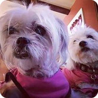 Maltese/Shih Tzu Mix Dog for adoption in Covina, California - Miriam (Mimi)
