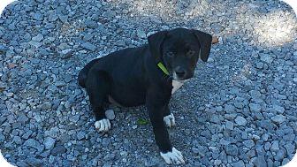 Labrador Retriever Mix Puppy for adoption in Hagerstown, Maryland - Benedict