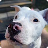 Adopt A Pet :: PERL - Fairfax, VA