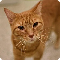 Domestic Shorthair Cat for adoption in Fairfax, Virginia - Spaghetti (with Meatball)
