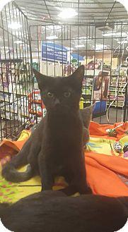Bombay Kitten for adoption in Griffin, Georgia - Sabrina