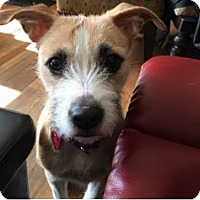 Toy Fox Terrier Mix Dog for adoption in Boston, Massachusetts - MADDY