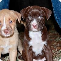 Adopt A Pet :: Joss - North Vancouver, BC