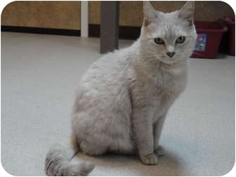 Domestic Shorthair Cat for adoption in Kingston, Washington - Martha