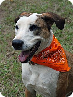 Catahoula Leopard Dog/Golden Retriever Mix Dog for adoption in Greensboro, Georgia - Archie- Adoption pending!