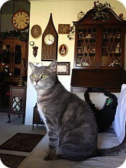 Domestic Shorthair Cat for adoption in Laguna Woods, California - Poobah