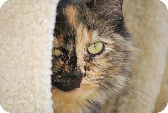 Domestic Longhair Cat for adoption in Bensalem, Pennsylvania - Tallulah