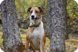 Shepherd (Unknown Type)/American Staffordshire Terrier Mix Dog for adoption in Saskatoon, Saskatchewan - Mateo