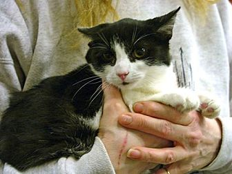 Domestic Shorthair Cat for adoption in Pittstown, New Jersey - Clover