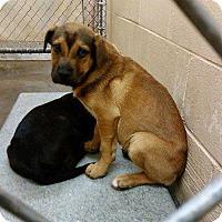 Adopt A Pet :: Aussie Shep pup - Pompton lakes, NJ