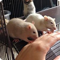 Adopt A Pet :: 4 BABY BOYS! - Philadelphia, PA