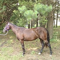Quarterhorse Mix for adoption in Dewey, Illinois - Abby