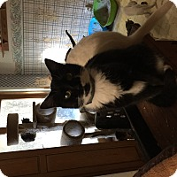 Domestic Shorthair Cat for adoption in Buchanan, Tennessee - Toby
