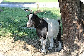 Goat for adoption in Saugerties, New York - Jed
