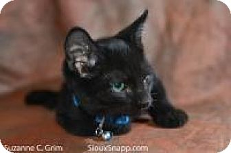Domestic Shorthair Cat for adoption in New Orleans, Louisiana - Pimiento