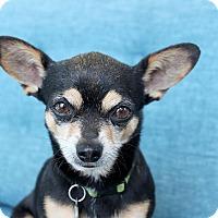 Adopt A Pet :: Ponzu - Encino, CA