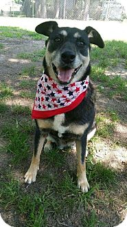 Shepherd (Unknown Type)/Husky Mix Dog for adoption in Ascutney, Vermont - Violet in Texas!