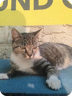 American Shorthair Cat for adoption in Philadelphia, Pennsylvania - Florence